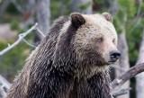 grizzly-crop YELS1387.jpg