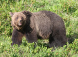 mother grizzly YELS2277.JPG
