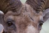 rams head crop YELS0113.jpg