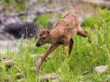 baby elk YELS1328.jpg