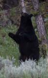 standing bear 2