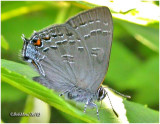 Banded Hairstreak -N    (Hickory)