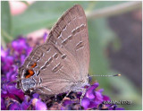 Banded Hairstreak-N    (White Oak)