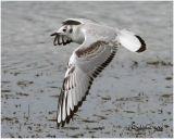 Bonaparte's Gull-1st Winter
