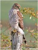 Cooper's Hawk-Juvenile
