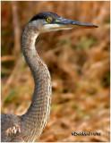 Great Blue Heron-Juvenile