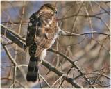 Cooper's Hawk-Juvenile Male