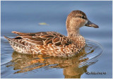 Blue-winged Teal -Female