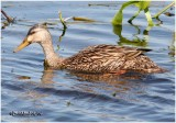 Mottled Duck - Female