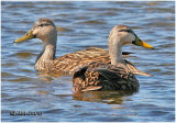 Mottled Duck - Pair