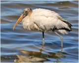 Wood Stork-Juvenile