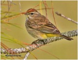 Palm Warbler-Winter