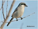 Loggerhead Shrike-February 2007