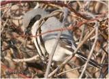 Loggerhead Shrike-March 2007