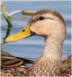Mottled Duck - Male
