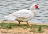 Muscovy Duck -White Morph