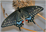 Black Swallowtail-FemalePapilio polyxenes