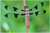 Common Whitetail-Female