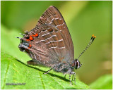 Striped Hairstreak-Male