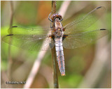 Chalk-Fronted Corporal-Female