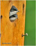 Tree Swallow-Chow Time!