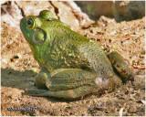Bull Frog-Immature Male