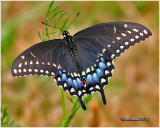 Black Swallowtail-Female