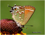 Juniper Hairstreak-Olive Form