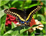 Black Swallowtail-Male