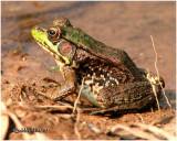 Green Frog-Female