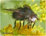 Tachinid Fly-Male