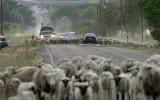 sheep-road_1.jpg