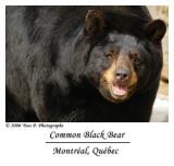 Common Black Bear ...