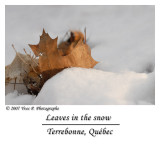 Leaves in the snow ...