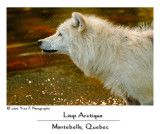 Arctic Wolf ... (July 2007)