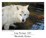 Arctic Wolf (2)