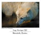 Loup Arctique (3) ...