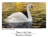 Swan in the Lake ...