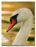 Magical Swan ...