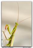 Whazzup ...  (Mante Religieuse/Praying Mantis)