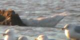 Iceland Gull #2