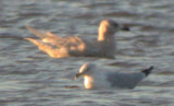 Iceland Gull #3
