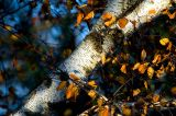 Birch 2 ~ October 19
