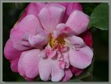 Old Blush - very old rose
