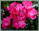 Pink Flower Carpet aka Heidestraum etc