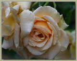Apricot Nectar