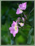 Eglanteria - Sweet Eglantine