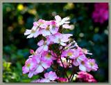 Seedling rose