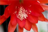 Epiphyllum ackermanii