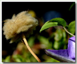 Flower leaf and seedhead of clematis
